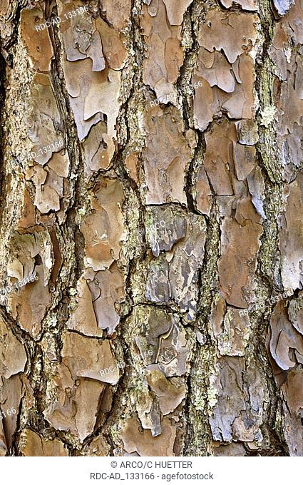 South Florida Slash Pine bark detail Everglades national park Florida USA Pinus eliotti