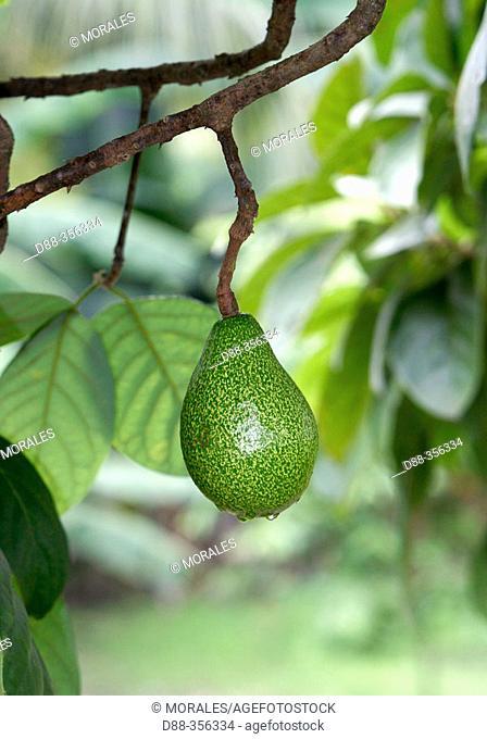 Avocado (Persea americana). Venezuela