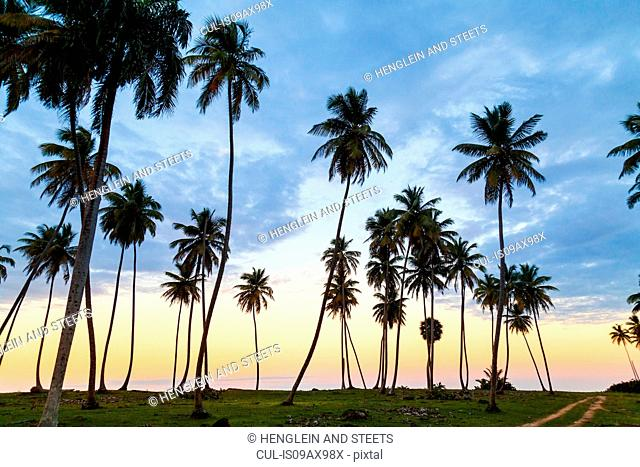 Silhouetted palm tree's at sunset on coast, Dominican Republic, The Caribbean