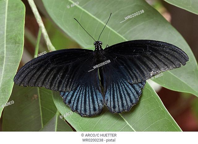 Swallowtail, Butterfly,Papilio, rumanzovia