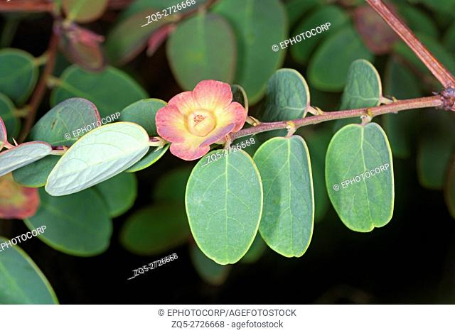 Female flower of Breynia. A typical Euphorbiaceae member with separate male and female flowers. This plant is also called the cup and saucer plant as the...