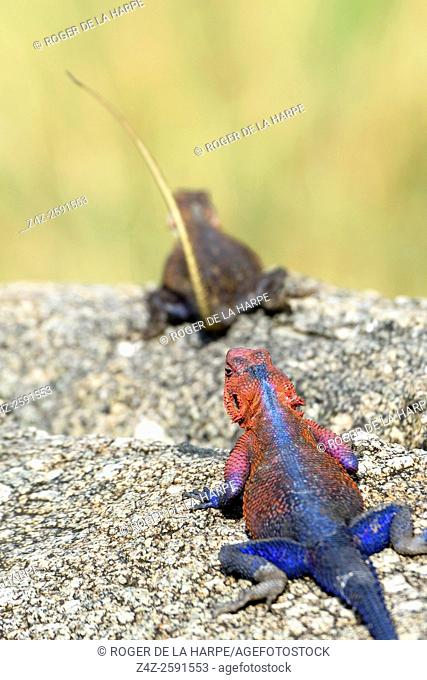 Mwanza flat-headed rock agama or the Spider-Man agama (because of its colouring). (Agama mwanzae) male and female. Serengeti National Park. Tanzania