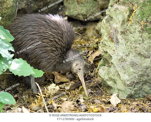 North Island Brown Kiwi (Apteryx mantelli). Whangarei Native Bird Recovery Centre. Whangarei, New Zealand. Called Sparky