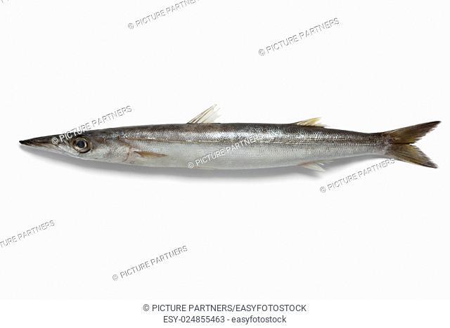 Single barracuda fish on white background