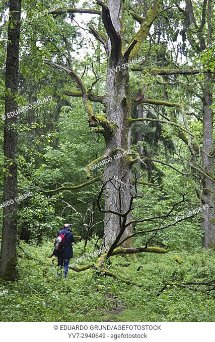 Some examples of ancient oaks from the Royal Oak Route of Bialowieza National Park. Bialowieza, Podlasie, Poland, Europe