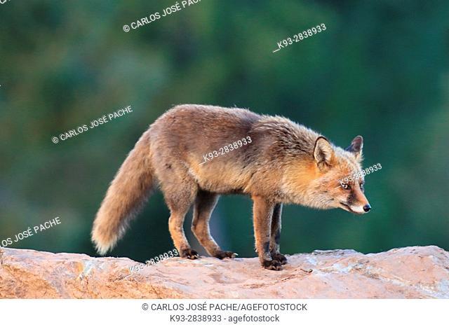 Un zorro Común (vulpes vulpes) en el Parque Nacional de Monfragüe, Caceres, Extremadura, España
