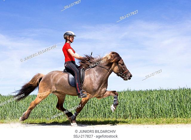 Icelandic Horse being ridden at the flying pace. Austria