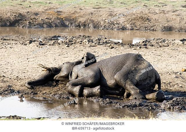 African Bush Elephant (Loxodonta africana) taking a mud bath in Chobe River, Chobe National Park, Botswana, Africa
