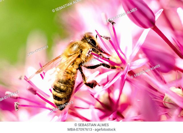 Bee on giant allium