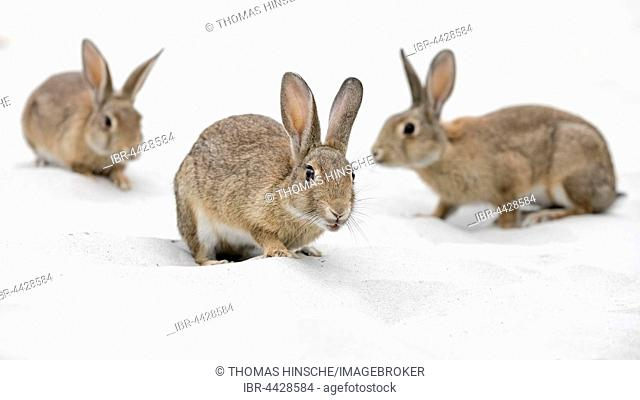 European or common rabbits (Oryctolagus cuniculus) on Baltic Sea dunes, Mecklenburg-Western Pomerania, Germany