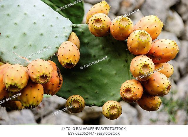 Chumbera ,Opuntia ficus-indica. Deia. Majorca, Balearic Islands, Spain