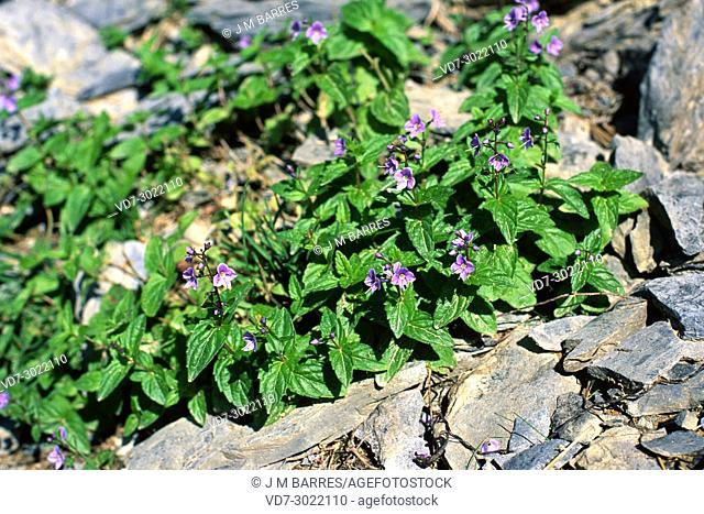 Germander speedwell (Veronica chamaedrys) is a perennial herb native to Europe ans Asia. This photo was taken in Lleida Pyrenees, Catalonia, Spain