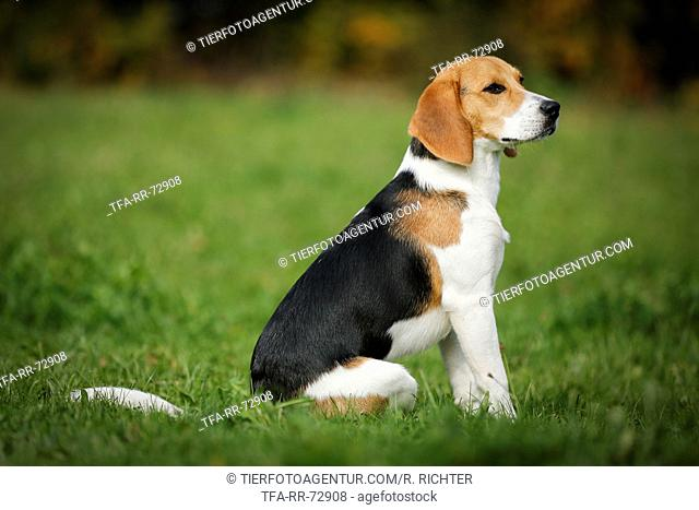 sitting young Beagle