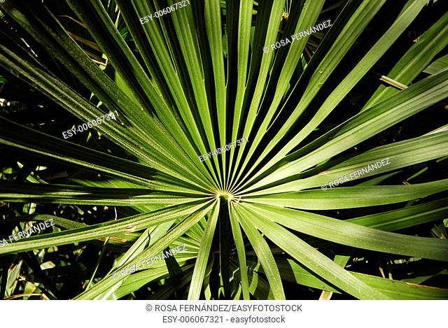 European Fan Palm, Mediterranean Dwarf Palm or Dwarf Fan Palm, Chamaerops humilis, Alicante, Comunidad Valenciana, Spain