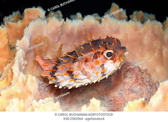 An Orbicular Burrfish, also known as a Birdbeak Burrfish or Shortspine Porcupinefish, Cyclichthys orbicularis, sheltering in a barrel sponge