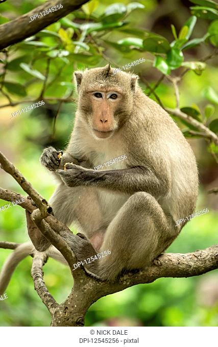 Long-tailed macaque sits in branches holding biscuit; Can Gio, Ho Chi Minh, Vietnam