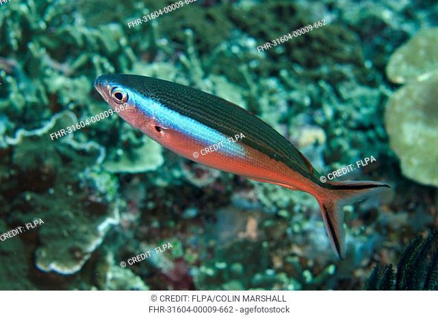 Bluestreak Fusilier (Pterocaesio tile) red form, adult, Tepekong, Candidasa, Bali, Lesser Sunda Islands, Indonesia, August