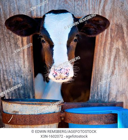 Head of dairy holstein cow peaking out of stall in line of cows on dairy farm