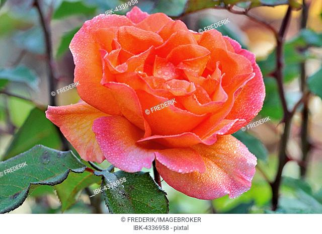 Rose (Rosa sp.) flower with raindrops, North Rhine-Westphalia, Germany
