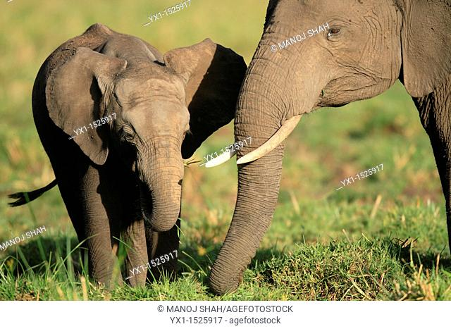 Baby elephant with mother eating grass