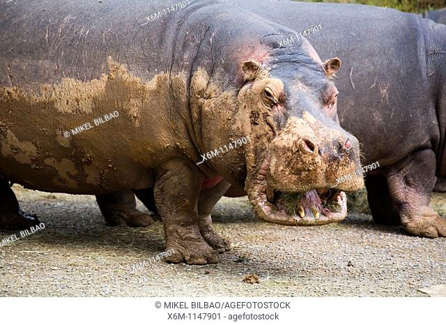 hippopotamus Hippopotamus amphibius, or hippo  Park of the Nature of Cabarceno  Cabarceno, Cantabria, Spain