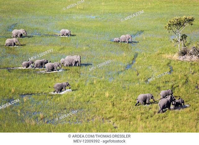 African Elephant - breeding herd - roaming in a freshwater marsh - aerial view - Okavango Delta, Moremi Game Reserve, Botswana