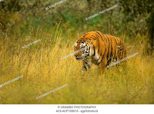 Adult Siberian Tiger, Panthera tigris altaica