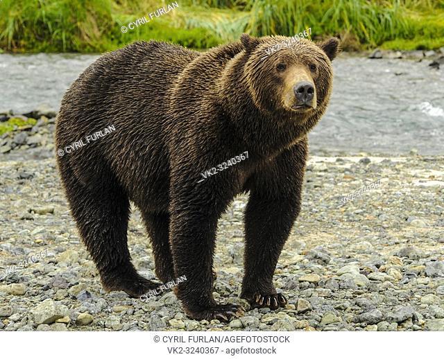 Female Brown Bear Looking Katmai National Park Alasks