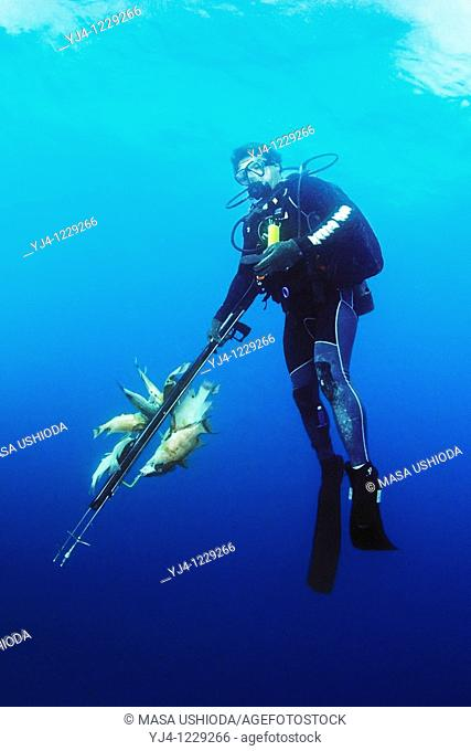 spearfisherman with good catches, using powerheads or bang sticks, off Tampa, Florida, USA, Gulf of Mexico, Caribbean Sea