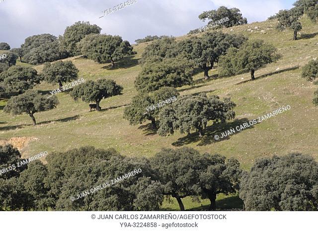 Quercus ilex dehesa landscape during autumn,Carrascasl del Obispo,Campo Charro,Salamanca,Castilla y Leon,Spain