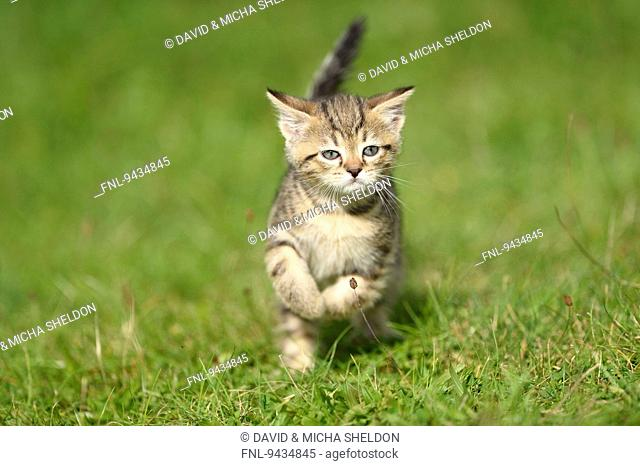 Domestic cat kitten running on a meadow