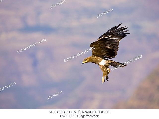 Raptor eagle, Semien Mountains, Ethiopia