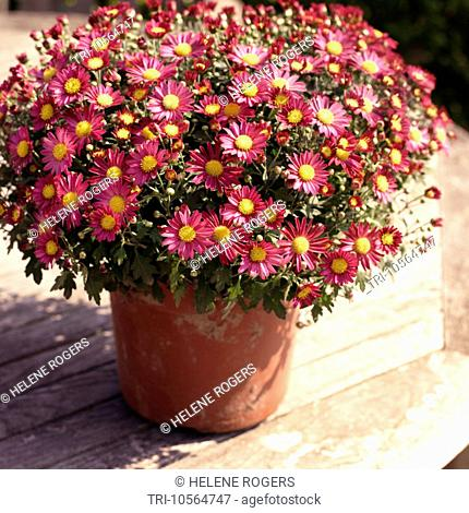 Pot Plant Pink Chrysanthemums