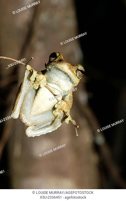 Northern Laughing tree frog, or Roth's tree frog Litoria rothii, Wet tropics rainforest frog