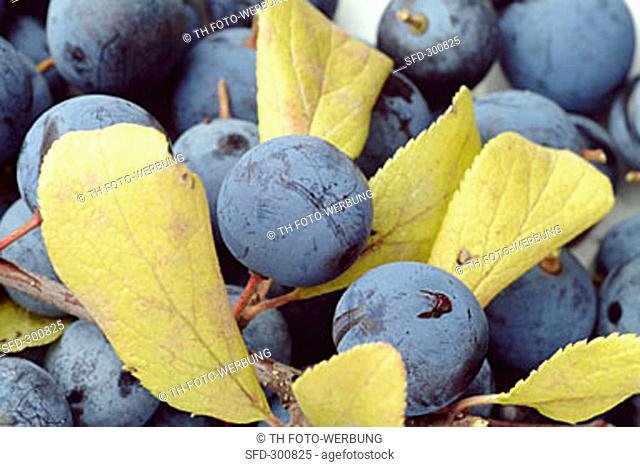 Sloe fruits and leaves