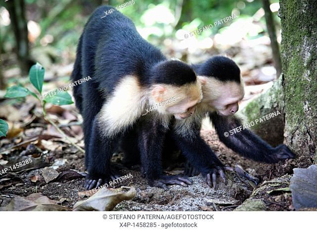 White-headed capuchin monkey in the Manuel Antonio National Park in Puntarenas province, Costa Rica