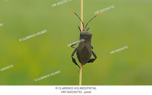 A Leaf-footed Bug (Acanthocephala terminalis) clings to stalk in a meadow