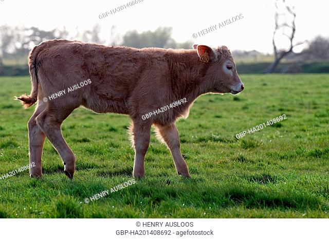 France, Limousin, cattle, Bos taurus, Cattle