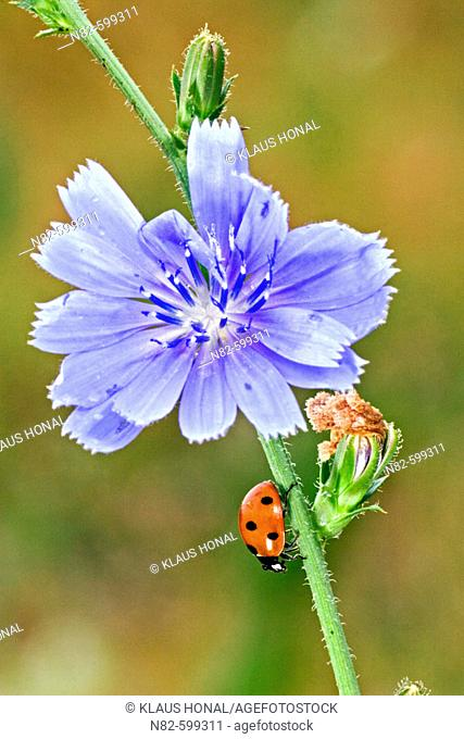 Seven-spot Ladybird (Coccinella 7 punctata) after rain, running downward at the Blue chicory flower or Blue sailors common chicory (Cichorium intybus)