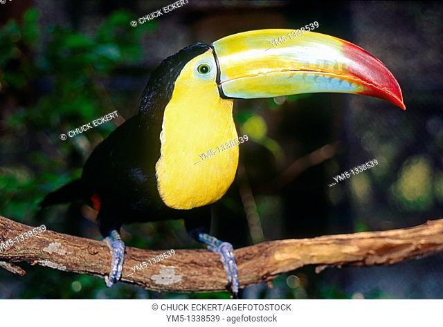 Toucan looking at camera Ramphastos sulfuratus