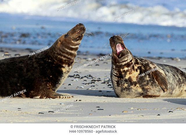 2, bull, bull, Germany, Europe, Halichoerus grypus, Helgoland, dune, island, isle, fight, battle, grey seal, coast, power, struggle for power, sea