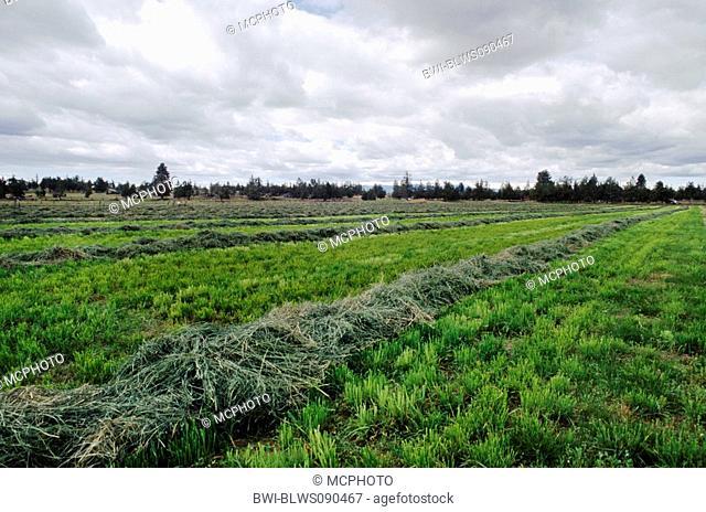 alfalfa, lucerne Medicago sativa, Medicago x varia, Medicago varia, A freshly cut field of alfalfa dries, USA, Oregon