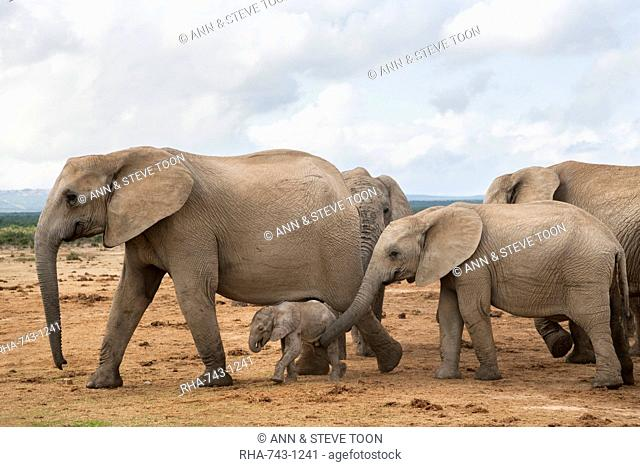 Elephants (Loxodonta africana), herd with newborn calf, Addo Elephant National Park, South Africa, Africa