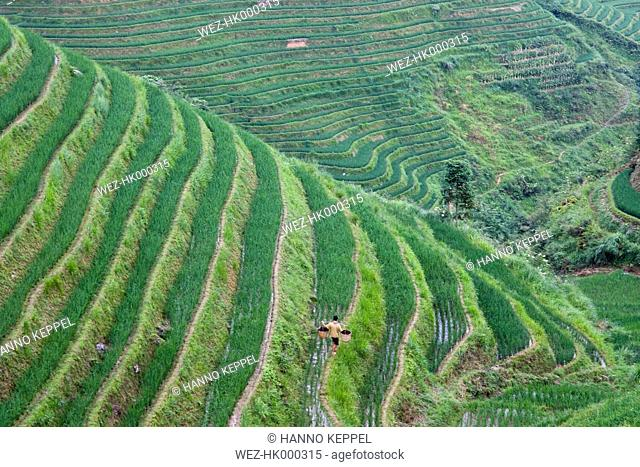China, Loncheng, View of terraced rice field