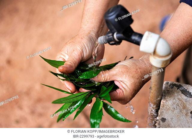 Health promoter washing leaves from which she will make a beverage containing metamizole for pain relief, natural medicine, Comunidad Mandu'ara