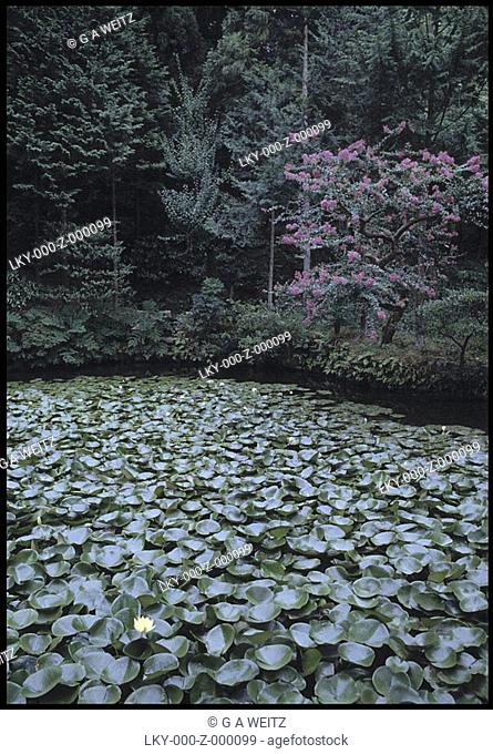 Water lilies floating on a pond
