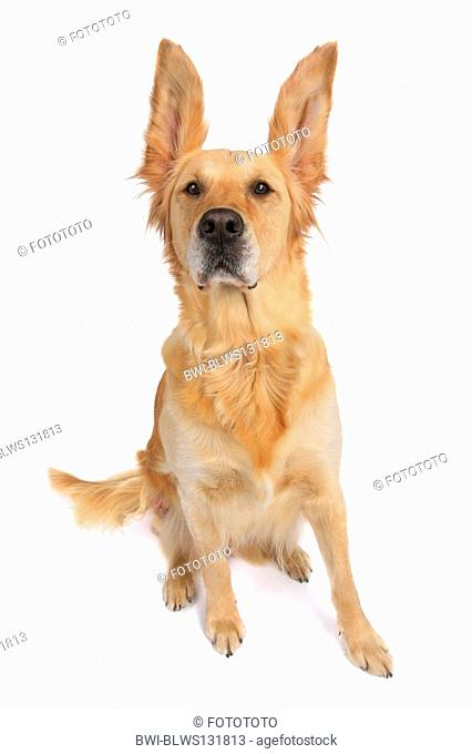 Golden Retriever Canis lupus f. familiaris, with pricked-eared