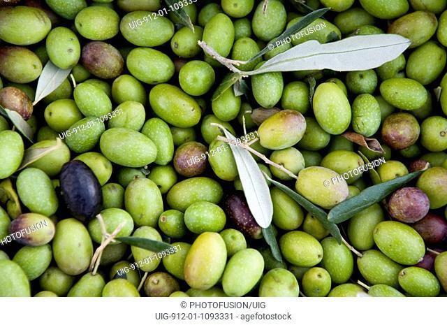 Tuscan olive harvest, Florence Italy Nov 2005