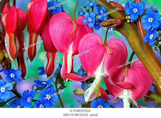 Close-up of Bleeding Hearts and Forget-me-nots