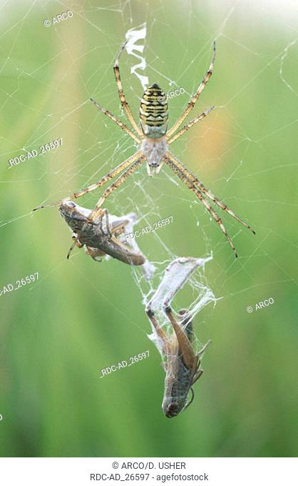 Black-and-Yellow Argiope with prey Lower Saxony Germany Argiope bruennichi